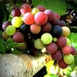 pic grapes
